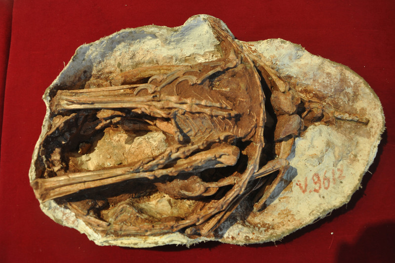 """Here's the whole <i>Sinornithoides</i> specimen, preserved in ventral (""""belly"""") view.  The chest is at the right side, with the arms articulated at either side; the legs extend to the left but are folded back to the right so that the feet are in the middle; the arms and hands are tucked in at the animal's sides (top and near bottom in the picture), and the tail is curled across the specimen just below (left) of the chest.  The skull is peeking out in the bottom center."""