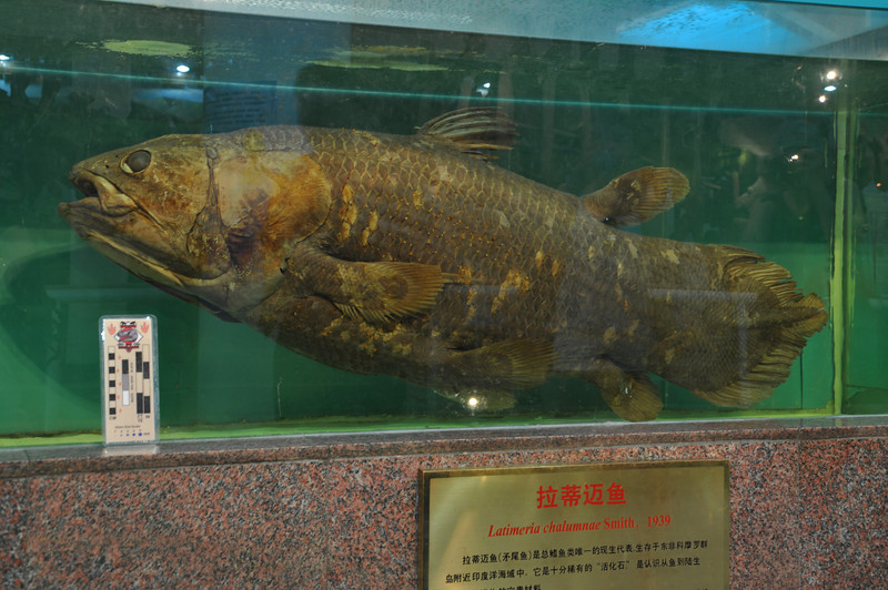 "The IVPP has one of only a few actual, real, extant <a href=""http://www.dinofish.com/"">coelacanth</a> specimens on display...again, the lighting and glass make it hard to photograph, but it's a great photo to teach with...!"