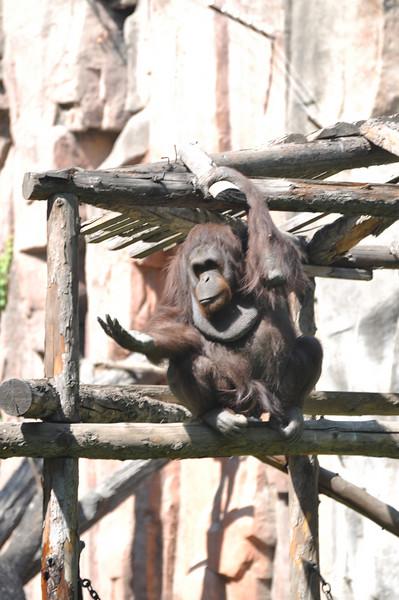 An orangutan begs for...spare change?
