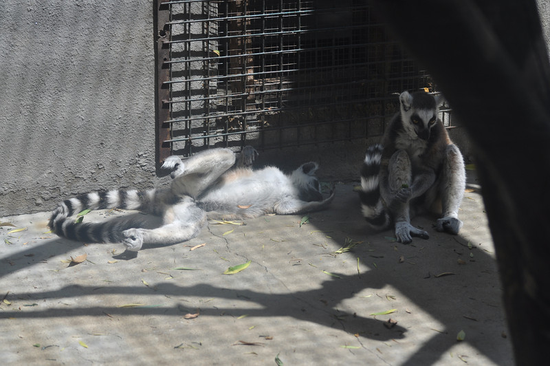 Ringtail lemurs can laze through the morning, too.