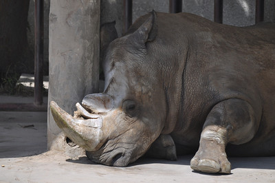 Another rhino, this one with horns that look cracked and broken.  I think this must be pathological...poor thing!