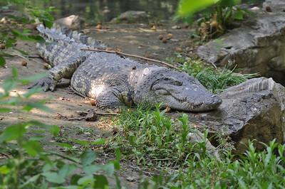 Siamese crocodile, lounging about.