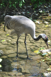 Red-crowned crane....I think.