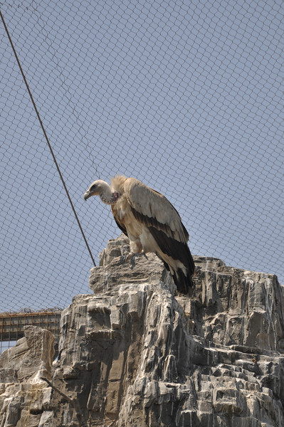 A pretty sizable vulture.  I loved the huge cage these were in -- in many places, there were plastic panels with camera lens-sized holes in it so taking pictures was easy, and no fence lines!  More zoos should do this...