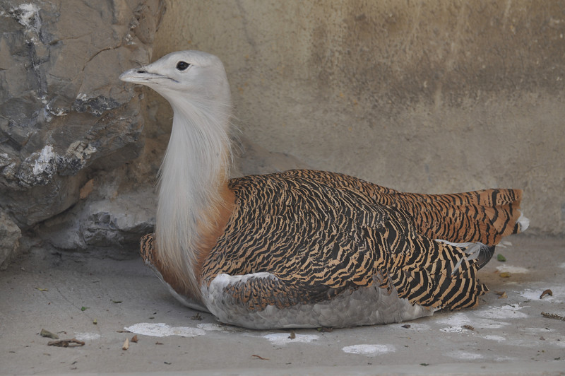 "A <a href=""http://wild-birds.suite101.com/article.cfm/great_bustard_otis_tarda"">great bustard</a> -- no, really, that's its name...!"