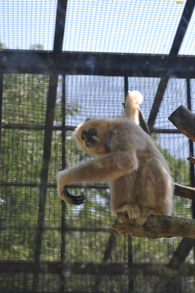 Gibbon.  These and the marmosets in the last picture were in a cage together, and they'd cluster around the screens above the doors because zoo patrons would toss wads of bread up there for them to snag with their fingers through the cage screen.