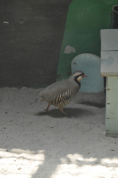 A chukar partridge strikes a pose.  It was frozen in mid-stride like this...I have no idea why.