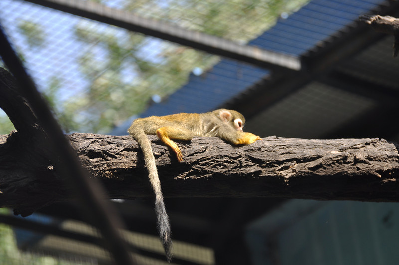 Sleepy squirrel monkey.