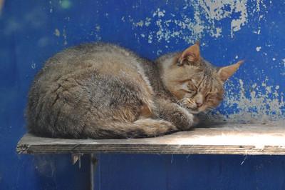 Awwwwww....a sleeping sand cat.