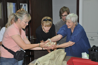 Here Becky, Brenna, Jack, and Christie examine skulls of basal ceratopsians like Archaeoceratops and Auroraceratops.