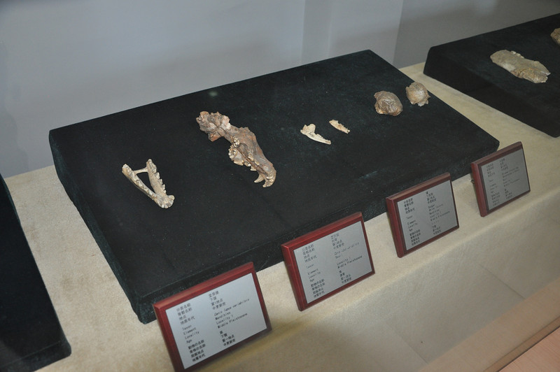 Bones of various smaller carnivorans from the Zhoukoudian site.