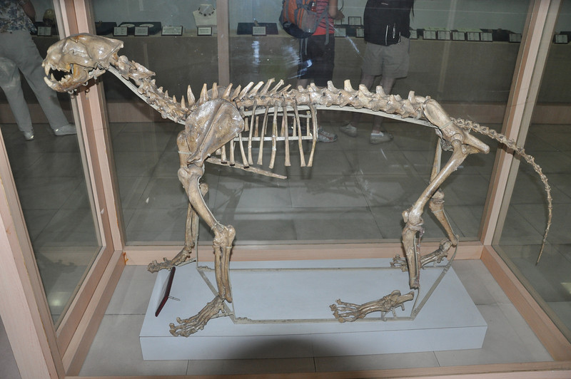 A big cat from the Zhoukoudian site -- hyaenas weren't the only predators there!