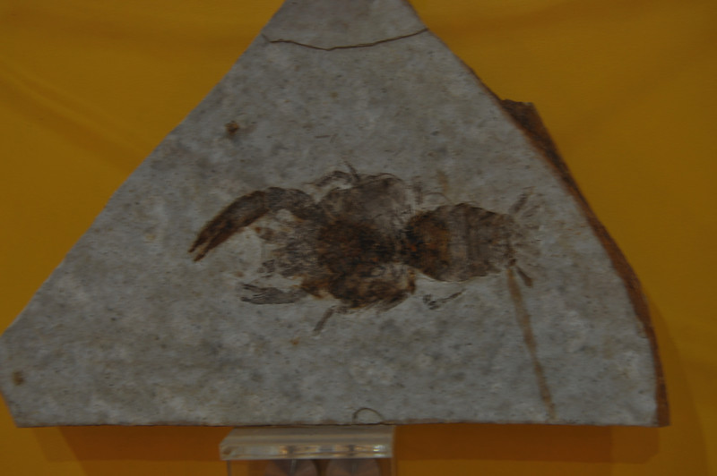 Back in the Jehol stuff: a fossil crayfish.