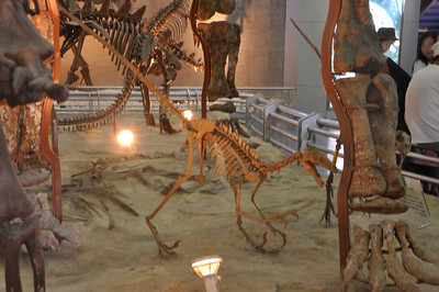 OK, this was rather strange: the exhibit had two sculpted skeletons of the Late Cretaceous, North American dromaeosaur Dromaeosaurus attacking the left hand of the Middle Jurassic, Chinese sauropod Mamenchisaurus.  I dread to think what museum patrons learn from this...