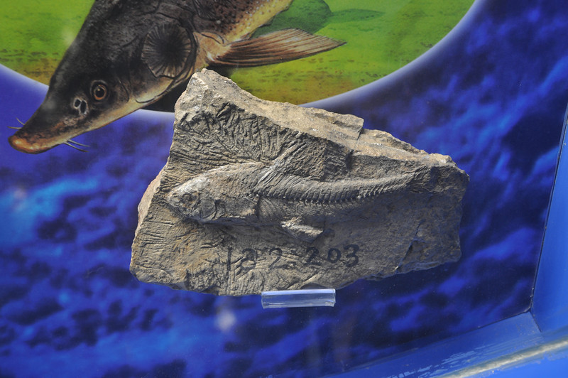 Not sure what's going on with this -- it looks like it was a moderately well-preserved fossil fish that was greatly enhanced with some creative sculpting during preparation...