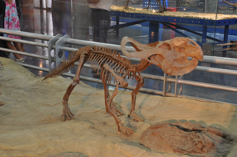 An old-style exhibit of mama <i>Protoceratops</i> guarding her nest of eggs.  As discussed back in the IVPP folder, we now know that the eggs once attributed to <i>Protoceratops</i> actually belong to oviraptorid theropods.  <i>Protoceratops</i> probably did do something like this...just not with <i>these</i> eggs!