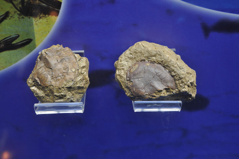 "Two small, nicely preserved head shields of very primitive, ""agnathan"" (jawless) fish."