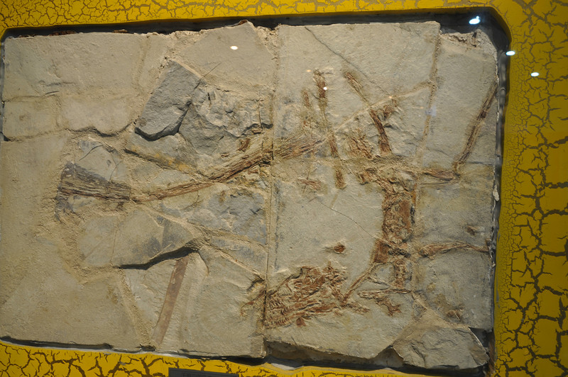 "This is an unpublished (as far as I know) specimen of a small dromaeosaurid theropod from the Jehol Group (probably the Yixian Formation).  Not the best preservation among <a href=""http://www.pbs.org/wgbh/nova/microraptor/foss-12.html"">Jehol dromaeosaurs</a>, but exhibited well enough to get in close for some good details!"