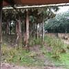 Giraffes in treetops