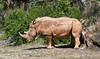 • Animal Kingdom<br /> • White Rhinoceros relieving itself