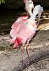 • Animal Kingdom<br /> • Roseate Spoonbill