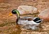 • Animal Kingdom<br /> • Male Mallard Duck