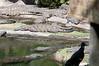• Animal Kingdom<br /> • Nile Crocodile