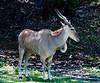 • Animal Kingdom<br /> • Thomson's Gazelle