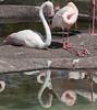 • Animal Kingdom<br /> • Greater Flamingo