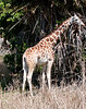 • Animal Kingdom<br /> • Reticulated Giraffe