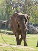 • Animal Kingdom<br /> • African Elephant