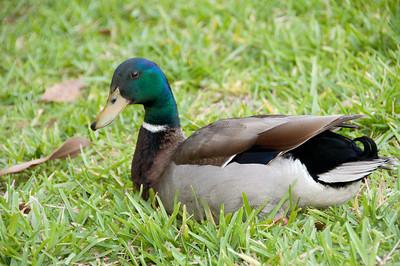 • Wyndham Bonnet Creek Resort • Male Mallard Duck