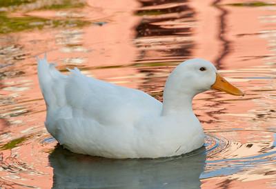 • Wyndham Bonnet Creek Resort • White Duck