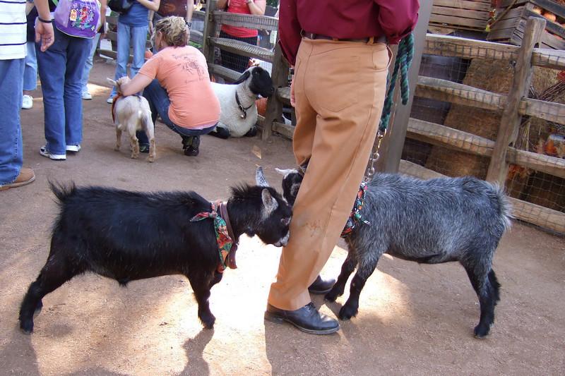 Fighting female goats