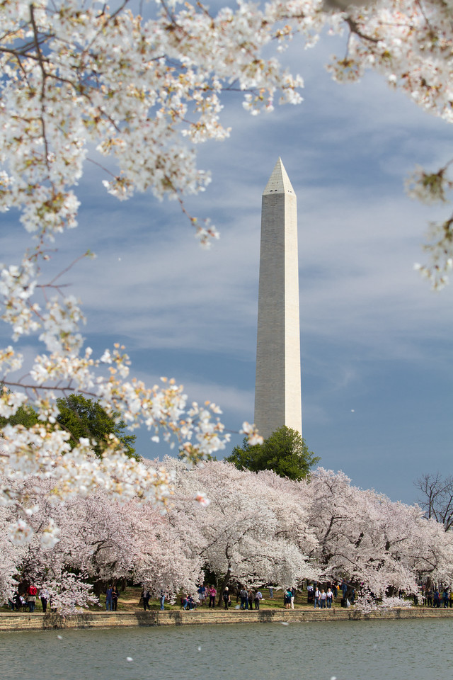 The Washington Monument framed by Cherry Blossoms, viewed from Tidal Basin.