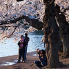 A photographer taking a picture of a Cherry Blossom branch.