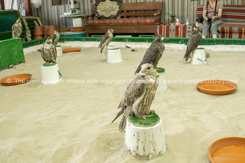 Falcons used in the ancient art or sport for the elite of Arabic countries.