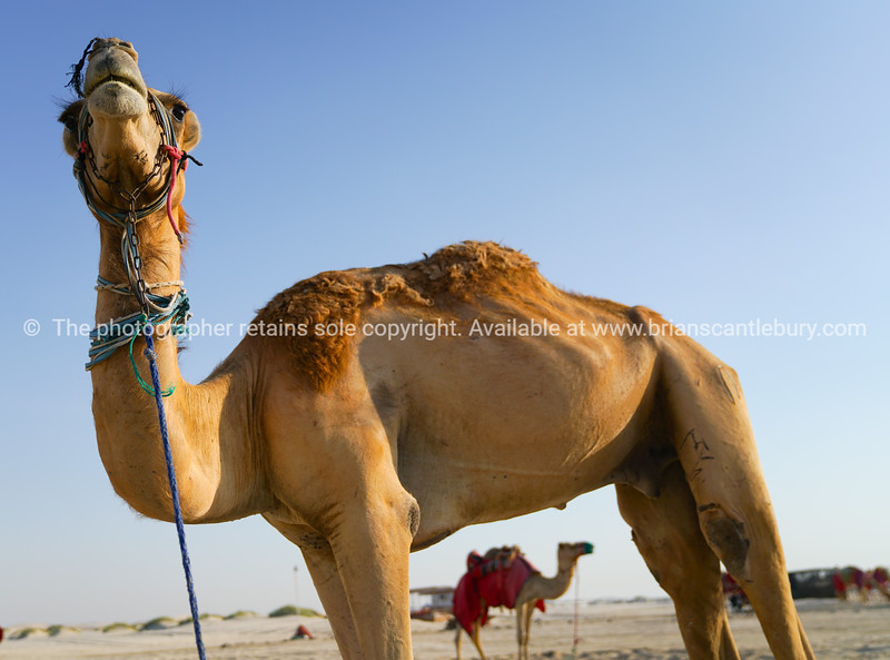 Camels tied waiting tourists