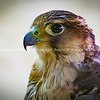 Falcons used in the ancient art and sport of Arabic falconry