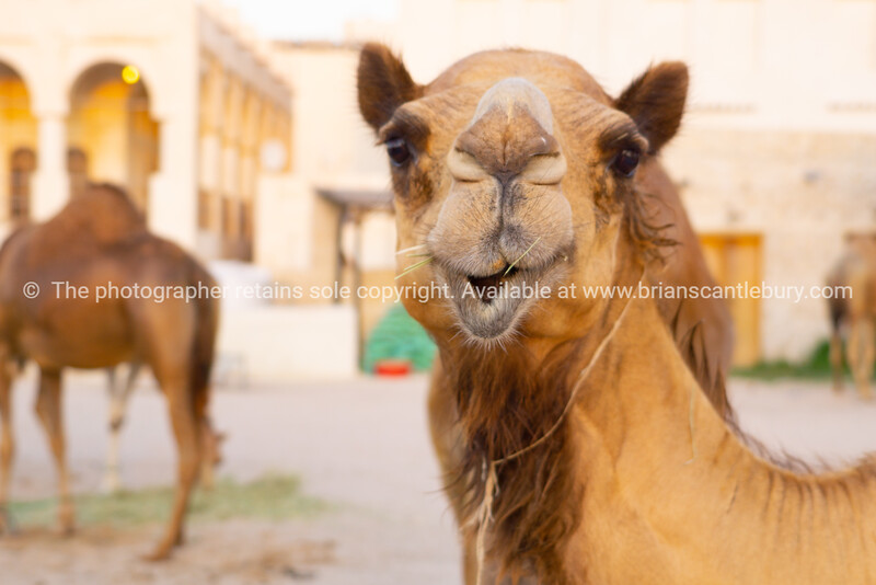 Compound full of camels in the centre of Doha, Qatar, with Souq Waqif in the background.