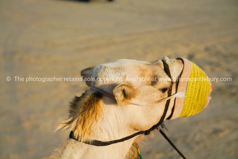 Muzzled camel close-up.