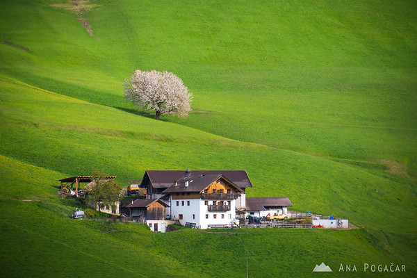 A blossoming cherry tree and a farm in Val di Funes