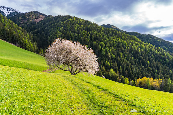 A blossoming cherry tree in Val di Funes