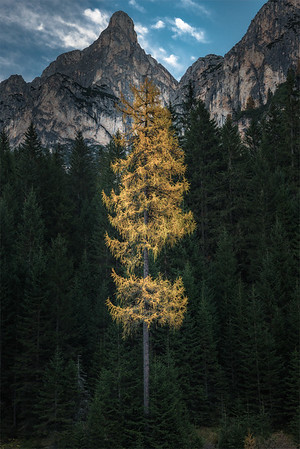 The lonely larch