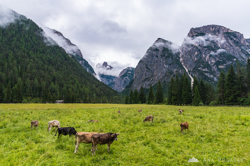 Cows and Tre Cime