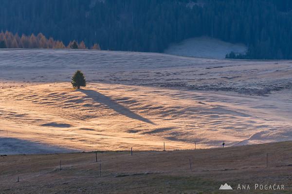A lone tree at Alpe di Siusi at sunrise