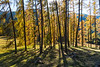 Golden larches in the Dolomites