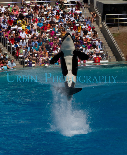 Orca at San Diego's SeaWorld.