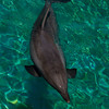 Dolphin at San Diego's SeaWorld.