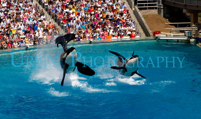 Orcas at San Diego's SeaWorld.